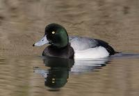 Greater Scaup (Aythya marila) photo