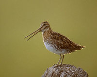 Wilson's Snipe (Gallinago delicata) photo