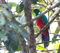 Golden-headed Quetzal - Pharomachrus auriceps