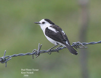 Pied Water-Tyrant - Fluvicola pica