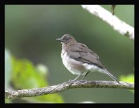 Black-billed Thrush - Turdus ignobilis