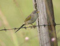 Wedge-tailed Grass-Finch - Emberizoides herbicola