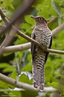 Brush Cuckoo (immature)