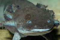 : Ambystoma mexicanum; Mexican Axolotl