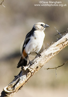 : Dinemellia dinemelli; White-headed Buffalo-weaver