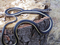 : Masticophis lateralis lateralis; California Striped Whipsnake