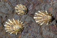 : Lottia scabra; Rough Limpet