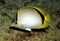 Chaetodon selene, Yellow-dotted butterflyfish: fisheries, aquarium