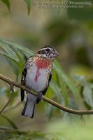Pheucticus ludovicianus - Rose-breasted Grosbeak