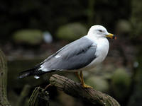 Image of: Larus crassirostris (black-tailed gull)