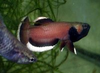 Whiteseam fighter - Betta albimarginata