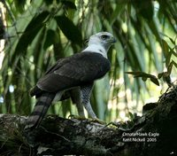 Ornate Hawk-Eagle - Spizaetus ornatus