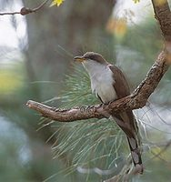 Yellow-billed Cuckoo (Coccyzus americanus) photo