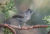 Juniper Titmouse (Baeolophus ridgwayi) photo