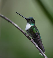 Collared Inca (Coeligena prunellei) photo
