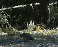 ...[Dusky Blue Grouse, Signal Mountain, Grand Teton National Park, August 28, 2007.  Photo by Don F