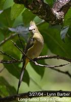 Long-tailed Silky-flycatcher (Ptilogonys caudatus)