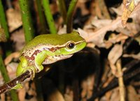 : Litoria phyllochroa; Southern Leaf Green Tree Frog