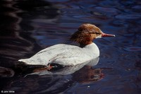 : Mergus merganser; Common Merganser