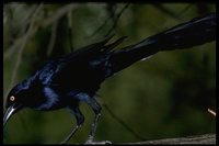 : Quiscalus mexicanus; Great-tailed Grackle