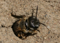 : Halictus ligatus; Sweat Bee