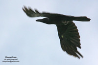 Slender-billed Crow Scientific name - Corvus enca