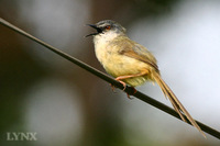 Yellow-bellied Prinia 灰頭鷦鶯