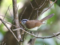 ハイガシラダルマエナガ Grey-headed Parrotbill Paradoxornis gularis