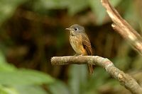 Ferruginous Flycatcher [Muscicapa ferruginea]