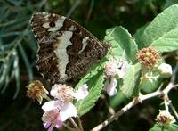 Brintesia circe - Great Banded Grayling