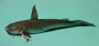 Hexanematichthys sagor, Sagor catfish: fisheries