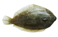 Pelotretis flavilatus, Southern lemon sole: fisheries, gamefish