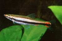 Nannostomus bifasciatus, Whiteside pencilfish: aquaculture, aquarium