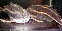 Platydoras costatus, Raphael catfish: fisheries, aquarium
