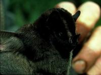 Image of: Platyrrhinus lineatus (white-lined broad-nosed bat)