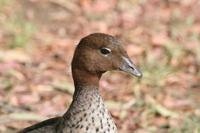 Chenonetta jubata - Maned Duck