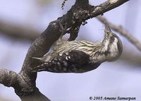 Grey-capped Pygmy Woodpecker - Dendrocopos canicapillus