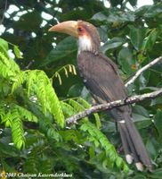 Brown Hornbill - Anorrhinus tickelli
