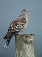 Oriental Turtle-Dove (Streptopelia orientalis) photo
