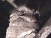 Philippine Frogmouth - Batrachostomus septimus