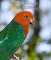 Australian native bird red and green king parrot in the wild D645 stock photo