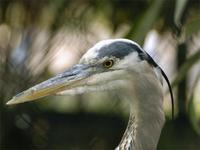 Great Blue Heron head a.jpg (37579 bytes)