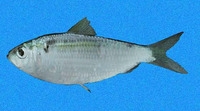 Harengula thrissina, Pacific flatiron herring: fisheries, bait