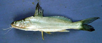 Mystus cavasius, Gangetic mystus: fisheries