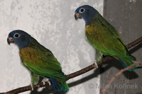 Pionus menstruus - Blue-headed Parrot