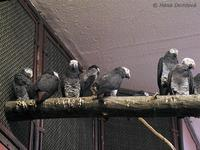 Psittacus erithacus timneh - Timneh African Grey parrot