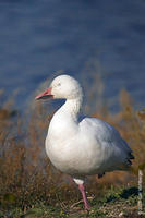Image of: Anser caerulescens (snow goose)