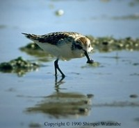 Spoon-billed Sandpiper - Calidris pygmeus