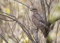 Madagascar Cuckoo-Hawk (Aviceda madagascariensis) photo