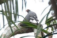 Slate-colored Hawk - Leucopternis schistaceus